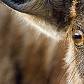 Blue Wildebeest Connochaetes Taurinus by Vincent Grafhorst
