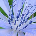 Blue Wildflower by Paul Ward