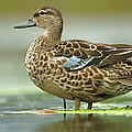 Blue-winged Teal Anas Discors Female by Scott Leslie