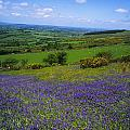 Bluebell Flowers On A Landscape, County by The Irish Image Collection