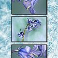 Bluebell Triptych by Steve Purnell
