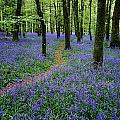 Bluebell Wood, Near Boyle, Co by The Irish Image Collection