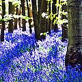 Bluebell Woods by Beth Riser