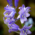 Bluebells by Gary Eason