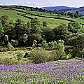 Bluebells In A Field, Sally Gap, County by The Irish Image Collection