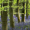 Bluebells In The Woods by Chris Upton
