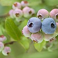Blueberries (vaccinium Sp.) by Lawrence Lawry