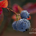 Blueberry Dewdrops by Clare Bambers