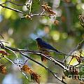 Bluebird At Rest by Barry Kadische