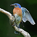 Bluebird  by Dave Mills
