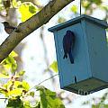 Bluebird Hanging Around by Barry Kadische
