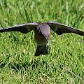 Bluebird In Flight by Paul Marto