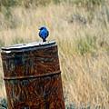 Bluebird On A Barrel by C Sitton
