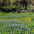 Bluebonnets Or Smurfs by Sarah Broadmeadow-Thomas