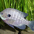 Bluegill Lepomis Macrochirus by Ted Kinsman