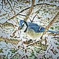 Bluejay In Birches by John Selmer Sr