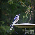 Bluejay In The Rain - Artist Cris Hayes by Cris Hayes