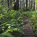 Boardwalk Winds Through The Forest by Konrad Wothe
