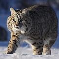 Bob Cat In The Snow by Vic Sharratt