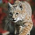 Bobcat Felis Rufus by David Ponton