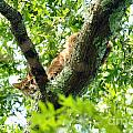 Bobcat In Tree by Dan Friend