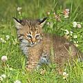 Bobcat Kitten by John Pitcher
