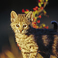 Bobcat Kitten Standing On Log North by Tim Fitzharris
