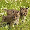 Bobcat Kittens by John Pitcher