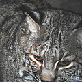 Bobcat Love by DiDi Higginbotham
