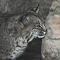 Bobcat Love II by DiDi Higginbotham
