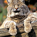 Bobcat Snoozes In The Sun by Larry Allan