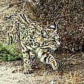 Bobcat Stalking Prey by Mariola Bitner