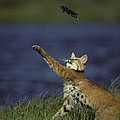 Bobcat Toys With Vole by Michael S. Quinton