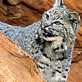 Bobcat With A Smile by Larry Allan