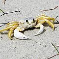 Boca Grande Crab by Chris Andruskiewicz