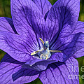 Bodacious Balloon Flower by Susan Herber