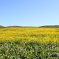 Bodega Bay . Yellow Field . 7d12403 by Wingsdomain Art and Photography