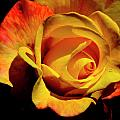 Bold Rose 2 by Francesa Miller