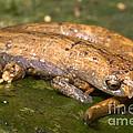 Bolitoglossine Salamander by Dante Fenolio