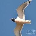 Bonapate Gull In Flight by Virginia Black