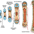 Bone Growth by Science Source