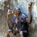 Bonobo 1 by Kenneth Albin