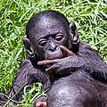 Bonobo 2 by Kenneth Albin