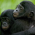 Bonobo Orphans Hugging by Cyril Ruoso