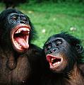 Bonobo Pan Paniscus Juvenile Pair by Cyril Ruoso