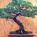 Bonsai - Dwarf Tree - Pine