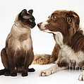 Border Collie & Siamese Cat by Mark Taylor