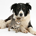 Border Collie And Kitten by Mark Taylor