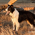 Border Collie At Sunset by Michelle Wrighton