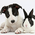 Border Collie Pup And Dutch Rabbit by Mark Taylor